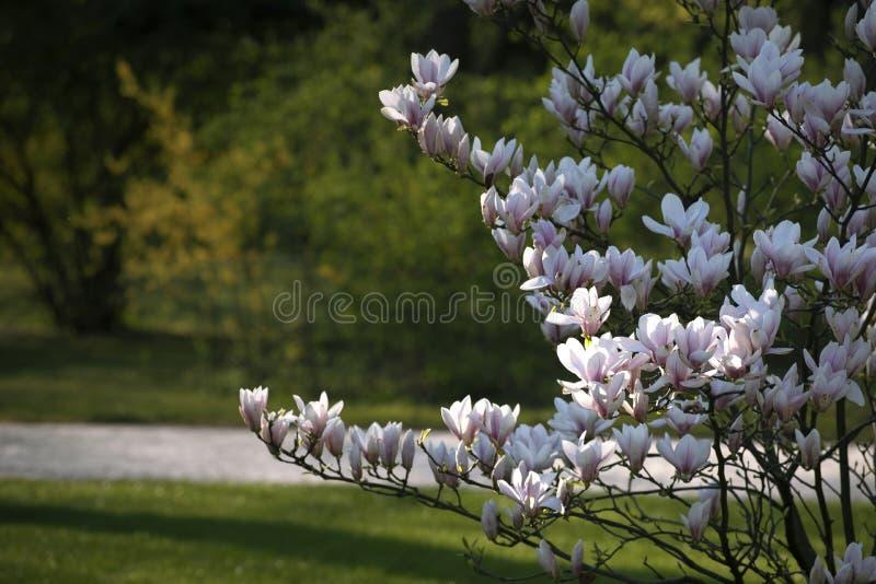 Vita som Bush av att blomma är ljus - rosa magnoliablommor fotografering för bildbyråer
