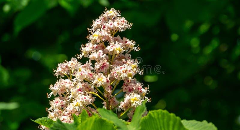 Vita stearinljus av att blomma hippocastanumen för Aesculus för hästkastanj, Conkerträd på bakgrund av mörkt - grön lövverk arkivfoton