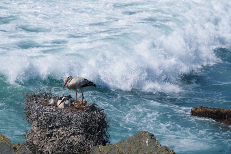 Vita storkar fotografering för bildbyråer