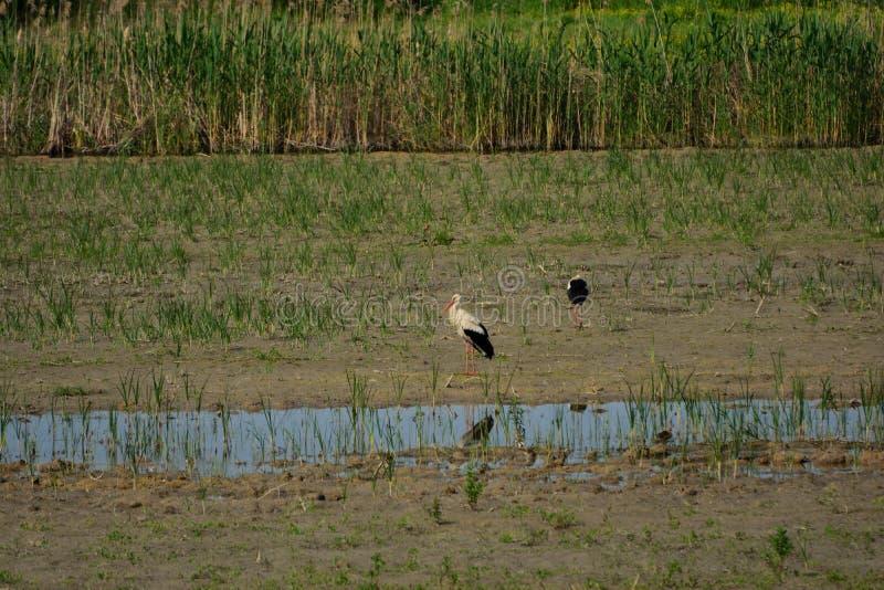 Vita storkar på den Hutovo Blato fågelreserven royaltyfria bilder
