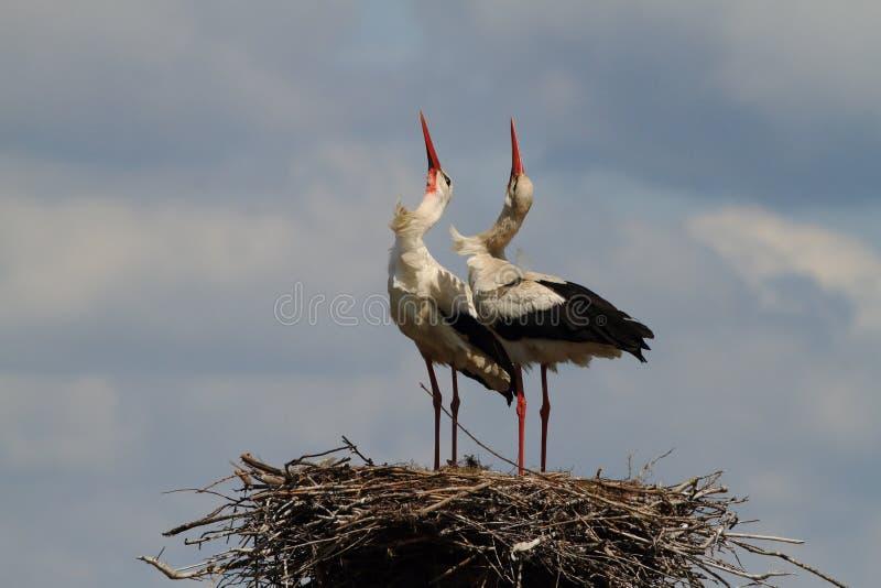 Vita storkar som dansar på redet arkivbilder