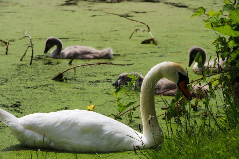 Vita svan och svanfågelungar i sjön arkivfoto