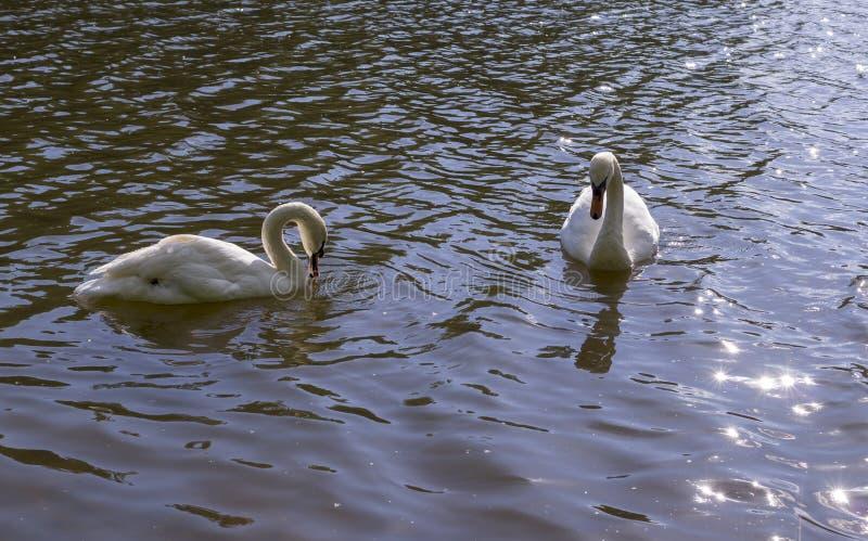 Vita svanar i skogsjön på sommar natur djur royaltyfri bild