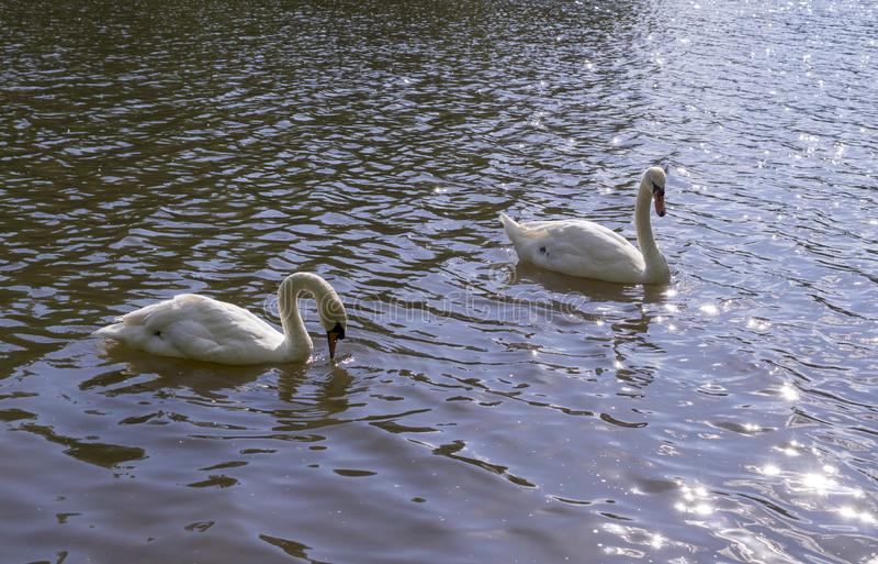 Vita svanar i skogsjön på sommar natur djur arkivbild