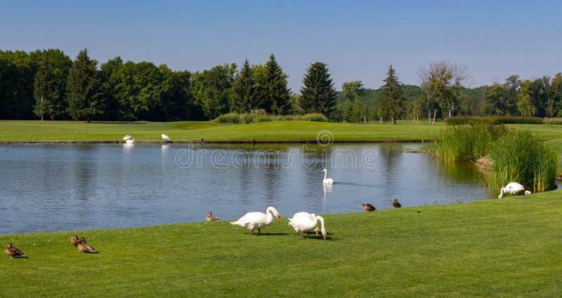 Vita svanar och bruntänder nära sjön i sommar parkerar Säsonglandskap Härlig bygd med fåglar och dammet fotografering för bildbyråer
