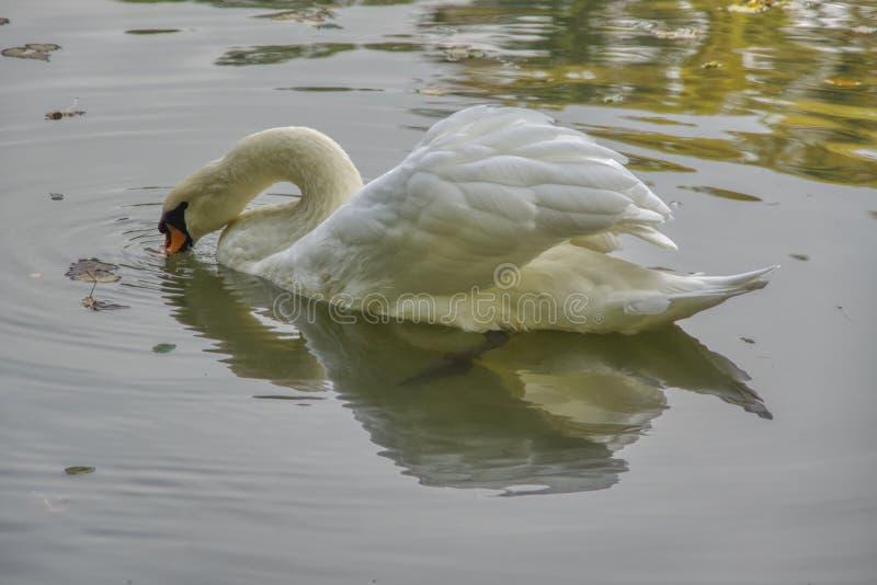 Vita svanbad över dammet arkivbild