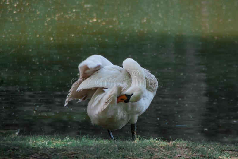 Vita svanluddfjädrar på flodstranden, lantligt landskap arkivbild