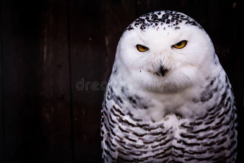 Vita svarta prickiga Owl Eyes Yellow Stare Beak arkivfoto