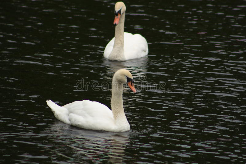 vita swans royaltyfria foton
