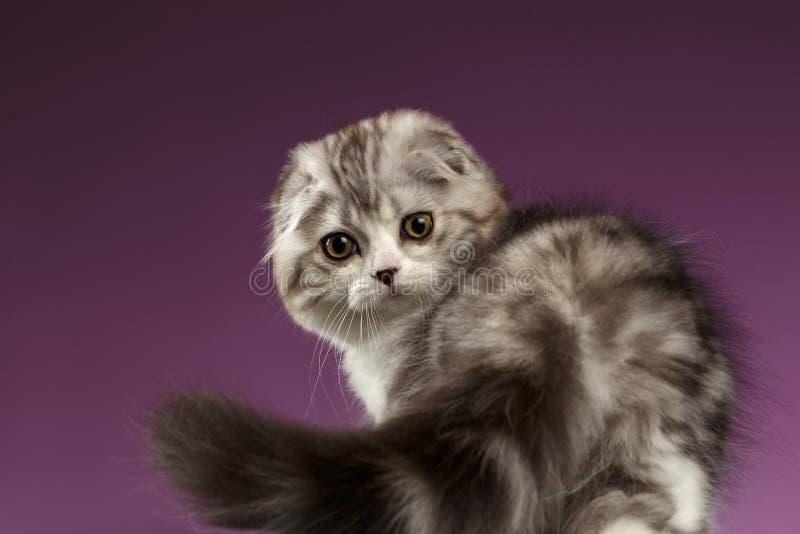Vita Tabby Scottish Fold Kitten Playing med svansen på lilor arkivfoto