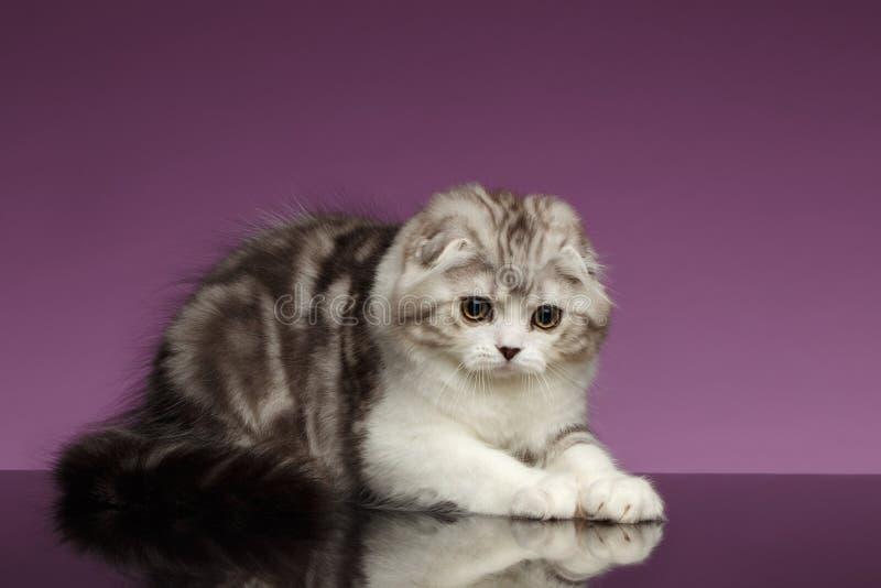 Vita Tabby Scottish Fold Kitten Playing på lilor royaltyfria foton
