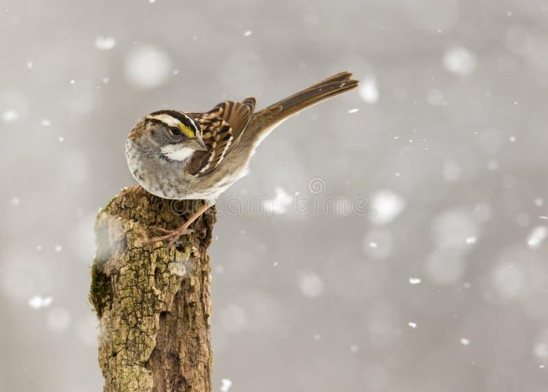 Vita throated sparvZonotrichiaalbicollis som sätta sig under en snöstorm arkivfoton
