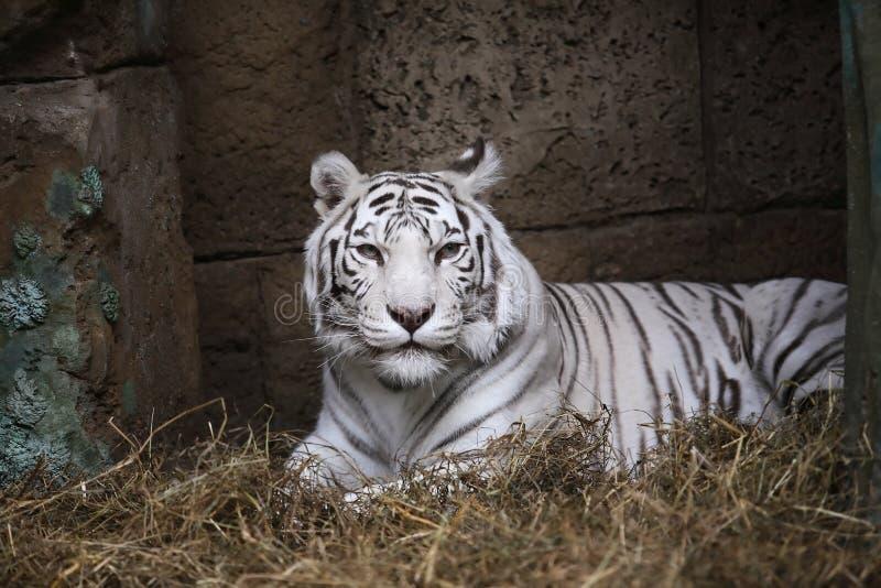 Vita Tiger In Zoo fotografering för bildbyråer