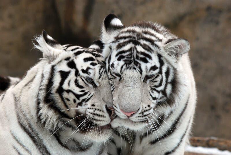 vita tigrar royaltyfri fotografi