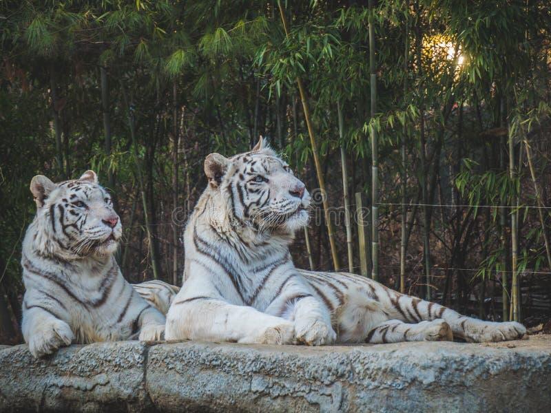 Vita tigrar som ser bort i skogen royaltyfria bilder