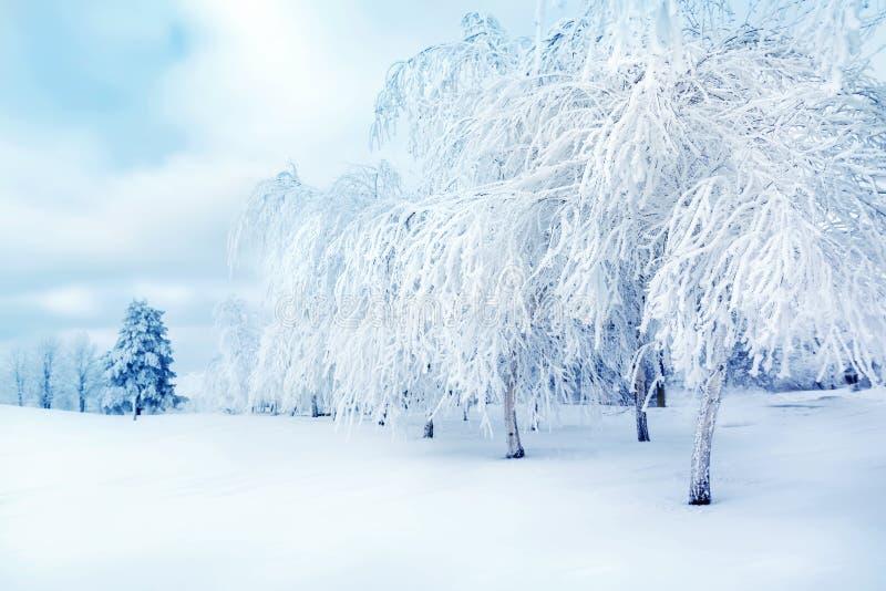 Vita träd i det insnöat staden parkerar Den härliga vintern landscape royaltyfri fotografi
