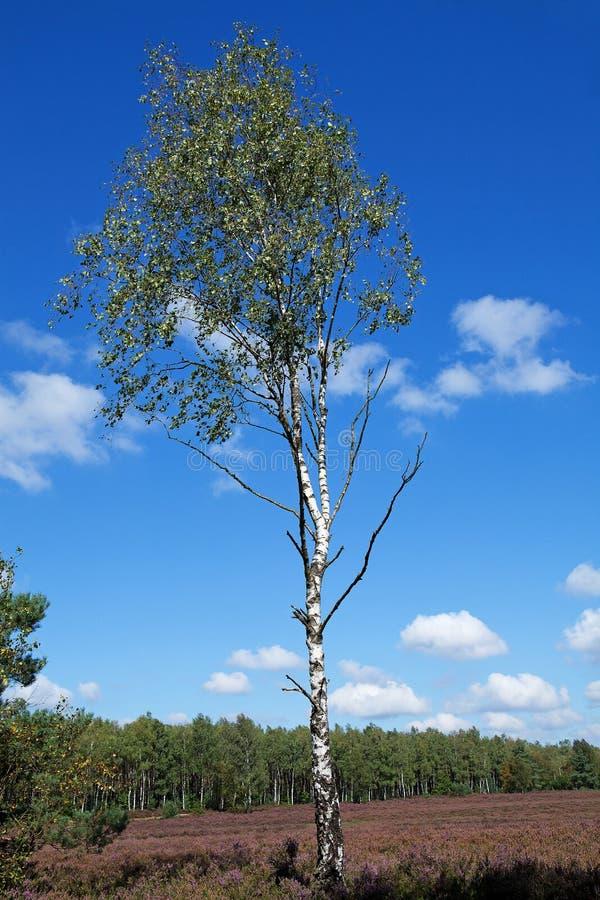 vita trees för björkfältheath arkivfoton