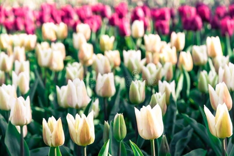 Vita tulpan för vår som blommar med den gröna stjälk i trädgård i Amsterdam med grunt djup av fältsuddighet royaltyfri foto