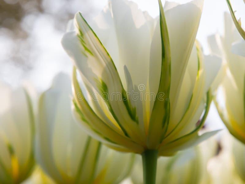 Vita tulpan i den Keukenhof botaniska trädgården, Holland royaltyfri foto