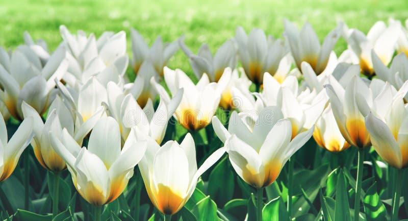 Vita tulpan med gula detaljer i Amsterdam, Nederländerna under vårsäsong Blommor backlit och som tänds från sidan royaltyfria bilder