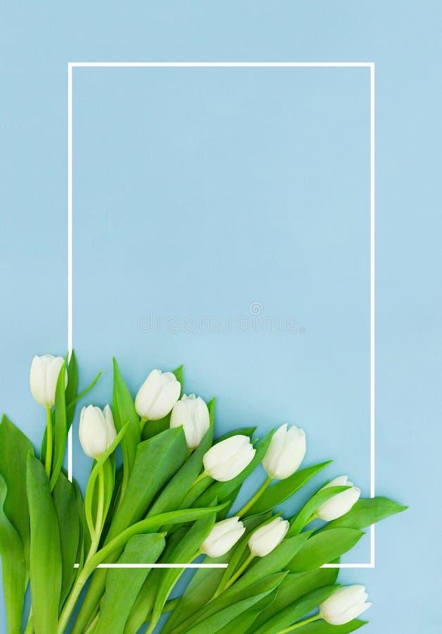 Vita tulpan på blå bakgrund med ramen, blommavykortet för kvinnors dag, mors dag eller försäljningsbegrepp Blom- vår arkivbild