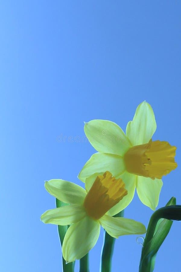 Vita två och gula påskliljor med blekt - blå bakgrund royaltyfria foton