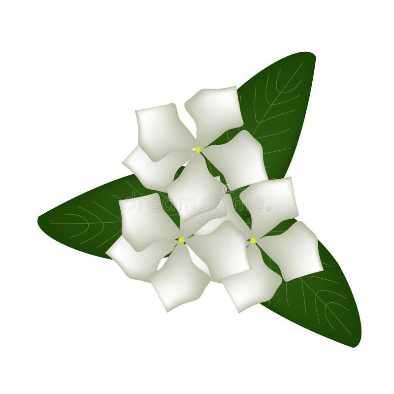 Vita uddevintergrönablommor eller Madagascar vintergrönablommor royaltyfri illustrationer