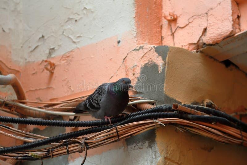 Vita urbana del ` s del piccione fotografia stock