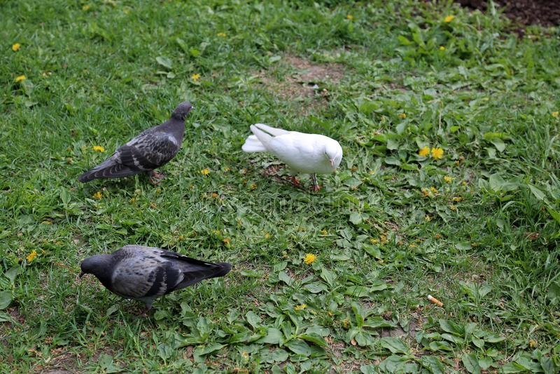 Vita urbana del ` s del piccione immagine stock libera da diritti