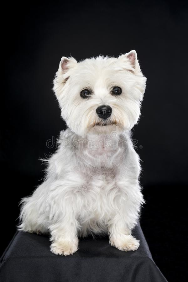 Vita västra höglands- Terrier som sitter se kamera isolerad tillbaka bakgrund royaltyfria bilder