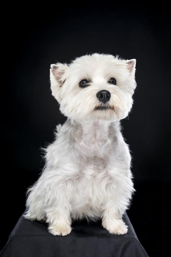 Vita västra höglands- Terrier som sitter se kamera isolerad tillbaka bakgrund royaltyfri foto