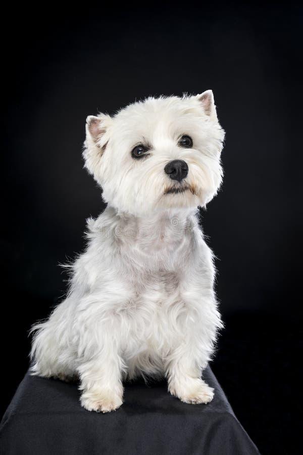 Vita västra höglands- Terrier som sitter se kamera isolerad tillbaka bakgrund royaltyfri fotografi