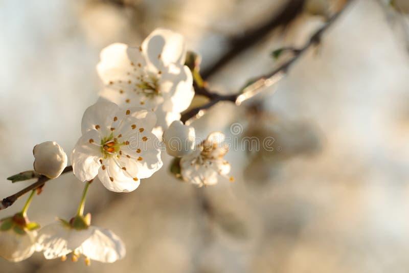 Vita vårblommor som blommar på ett träd arkivbilder