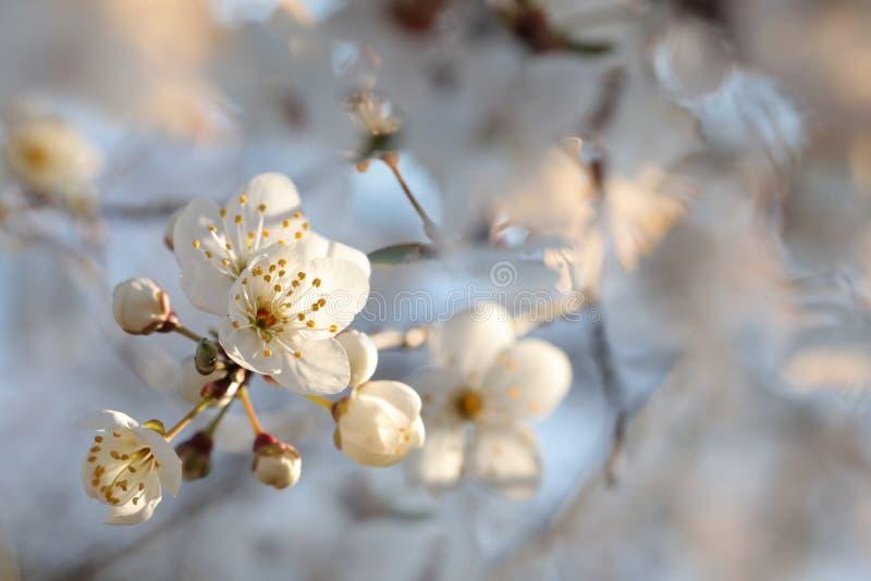 Vita vårblommor som blommar på ett träd fotografering för bildbyråer