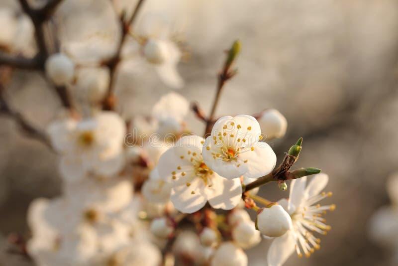 Vita vårblommor som blommar på ett träd arkivfoto