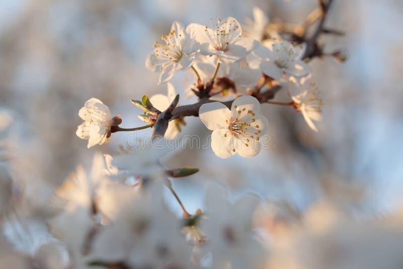 Vita vårblommor som blommar på ett träd arkivbild