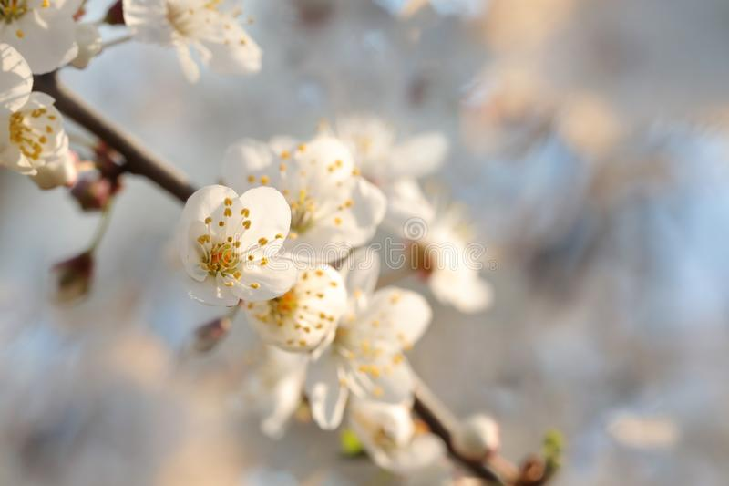 Vita v?rblommor som blommar p? ett tr?d royaltyfri fotografi