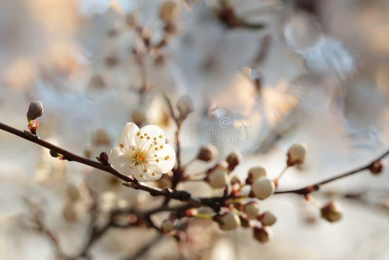 Vita v?rblommor som blommar p? ett tr?d royaltyfri foto