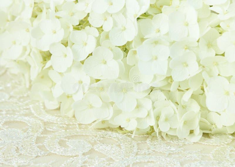 Vita vanlig hortensiablommor och snör åt royaltyfria bilder