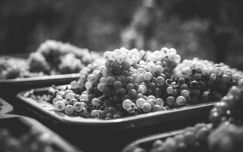 Vita vinrankadruvor Detaljerad sikt av vinrankor för en druva i en vingård i höst royaltyfri foto