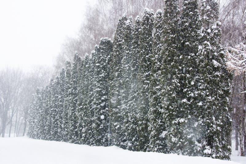 Vitae d'axe de Milou (cèdre, thuja) dans une rangée pendant les chutes de neige photos libres de droits