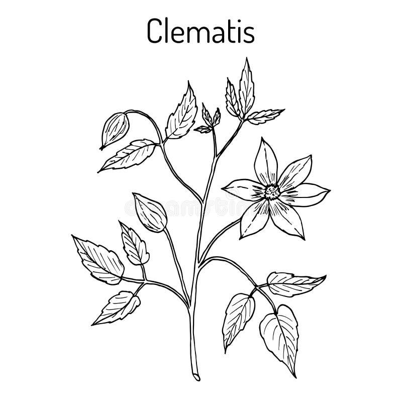 Vitalba de la clemátide, o barba del viejo hombre, o alegría del viajero, planta medicinal ilustración del vector