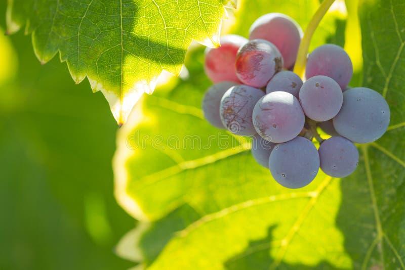Vite con l'ubriacone, acini d'uva maturi sulla vite pronta per Harve fotografia stock