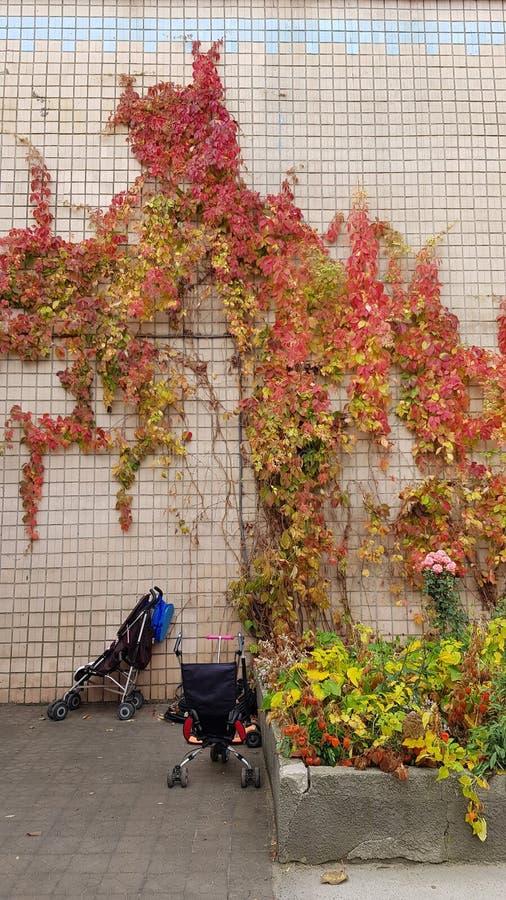 Vite con le foglie variopinte della pianta del rampicante sul vecchio muro di mattoni delle mattonelle fotografie stock