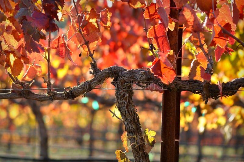 Vite del vino rosso fotografia stock libera da diritti