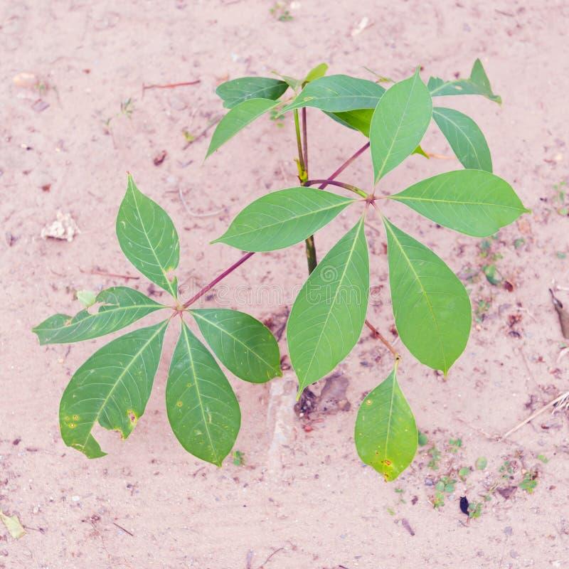 Vite dell'aglio o alliacea di Mansoa, hymennaea di Pachyptera su Th fotografie stock libere da diritti