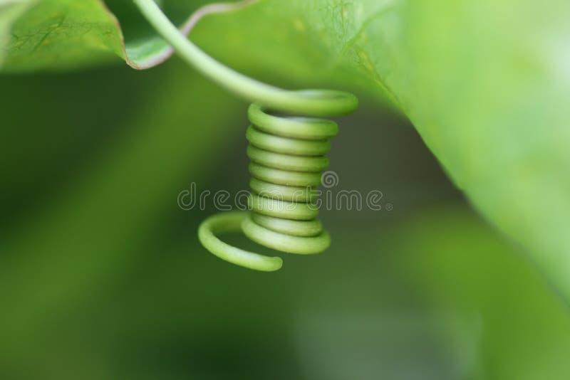 Vite della passiflora commestibile fotografie stock