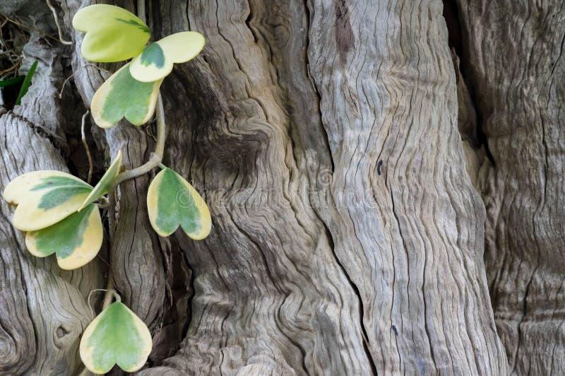 Vite di Hoya e fondo di legno della superficie della corteccia fotografia stock libera da diritti