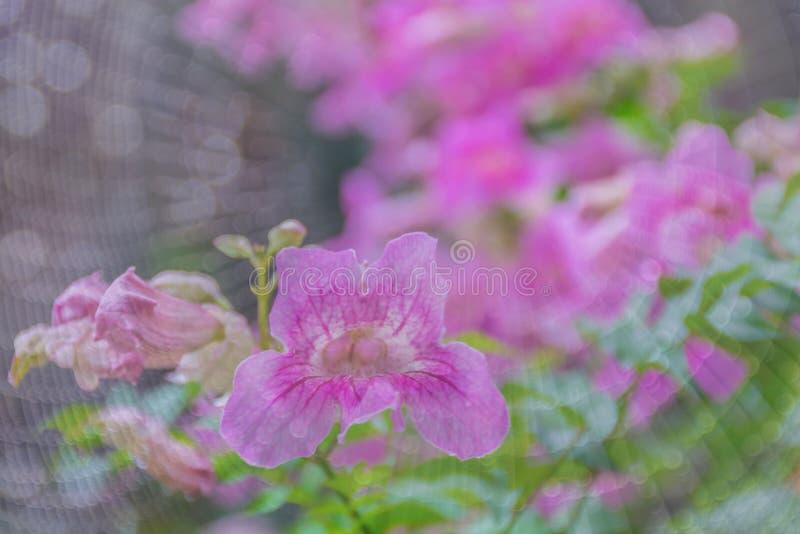 Vite di tromba rosa, ricasoliana di Podranea, di Phodania, bignoniaceae, fiore di felicità con la ragnatela e fondo del bokeh immagini stock