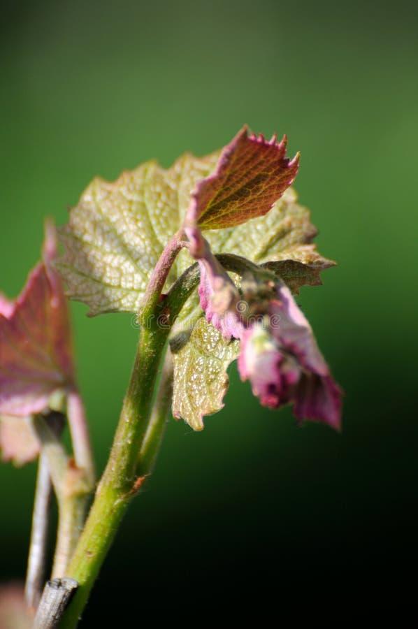 Download Vite in fioritura fotografia stock. Immagine di alcool - 55359236